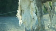 Horse France Camargue animal wildlife grey Stallion Gelding - stock footage