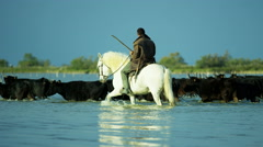 Camargue bull animal wild black France cowboy - stock footage