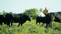 Camargue bull animal horse drover vegetation water cowboy Stock Footage