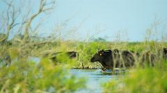 Camargue bull animal wild black horse sea cowboy - stock footage