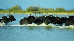 France cowboy Camargue bull animal wild black horse Stock Footage