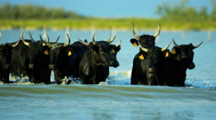 Camargue bull France cowboy animal horse running sea - stock footage