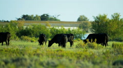 Mediterranean cowboy Camargue bull animal horse Stock Footage
