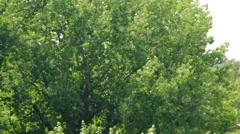 Stock Video Footage of Cottonwood (poplar) fluff like a summer snow Poplar (cottonwood) fluff flies
