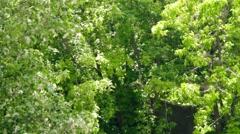 Cottonwood fluff flying Stock Footage