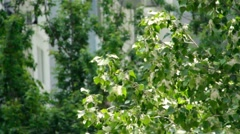 Poplar tree with green leaves and flying fluff - stock footage