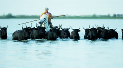 Camargue bull animal wildlife running marshland cowboy Stock Footage