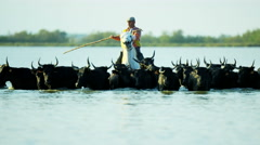 Camargue bull animal wild livestock horse rider water Stock Footage