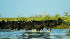 Mediterranean cowboy sea Camargue bull animal horse Stock Footage
