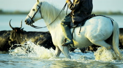 Camargue bull animal wildlife running water cowboy Stock Footage