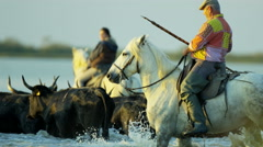 Cowboy Camargue bull animal wild horse rider water France Stock Footage