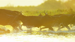 Camargue bull animal wild freedom water France travel Stock Footage