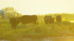 Camargue bull animal wildlife black livestock horse drover Stock Footage