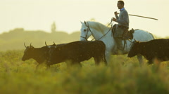 Cowboy bull running water Camargue animal horse power Stock Footage