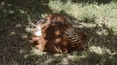 Chicken rake in the garden, Hen on the farm Stock Footage