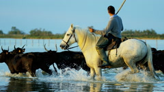 Cowboy bull running water Camargue horse freedom Stock Footage