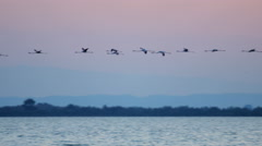 Flamingo bird flying sunset water France Camargue - stock footage