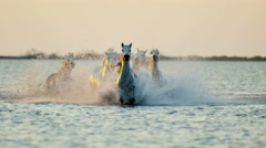 Camargue animal horses France running sunset wildlife Stock Footage