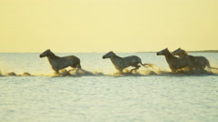 Camargue animal horses France running sunrise wildlife Stock Footage