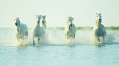Stock Video Footage of France Camargue horses running rider cowboy water