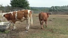 Animals on a large cattle ranch Stock Footage