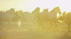 Cowboy France Camargue animal horses herd sun flare - stock footage