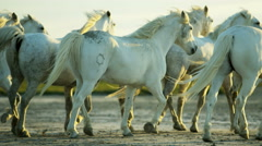 Stock Video Footage of Cowboy France Camargue animal horses running freedom