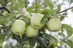 Four Green Apples - stock photo