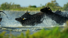 Bull black running water Camargue animal freedom energy - stock footage