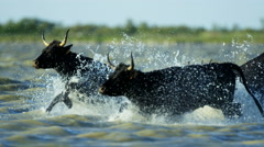Bull black running water Camargue animal freedom energy Stock Footage