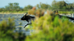 Bull black running water Camargue animal freedom power Stock Footage