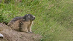 Alpine marmot next to his den Stock Footage