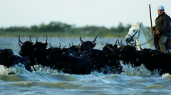 Bull black running water Camargue animal freedom cowboy - stock footage