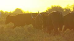 Bull black water Camargue animal freedom power Stock Footage
