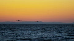 Flamingo bird animal flying water France Camargue sunset - stock footage
