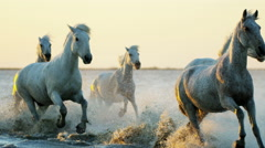 Camargue animal horses livestock cowboy running water Stock Footage