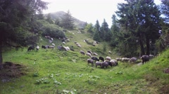 Mountain sheeps Stock Footage