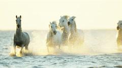 Cowboy Camargue rider animal horse sunset galloping sea - stock footage