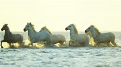 Cowboy Camargue rider animal horse sunset galloping sea Stock Footage