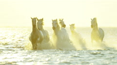France Camargue horses sunrise running rider cowboy water - stock footage