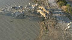 Aerial Drone horse cowboy Camargue delta power tourist Stock Footage