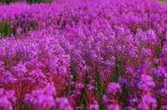 Flowers on Alaska - stock photo