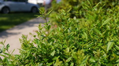Close up of green bushes and people walking by Stock Footage