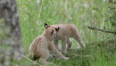 Eurasian Lynx cubs playing scrubbing heads in grass field Stock Footage