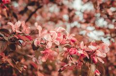 Cherry blossom sakura flower Retro tone Stock Photos
