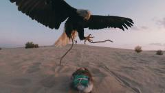 Eagle taking dummy lure on sand dunes - stock footage