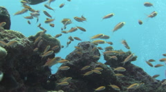 Coral reef and fish, Scuba Diving at Blue Corner on the Island of Palau - stock footage