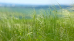 Feather Grass or Needle Grass, shallow DOF Stock Footage