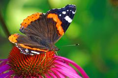 Red Admiral (Vanessa atalanta Stock Photos
