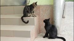 Cat attacks cat - stock footage